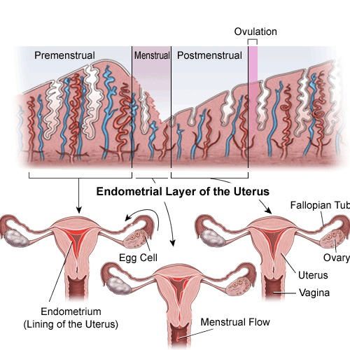 Image result for menstrual cycle phases
